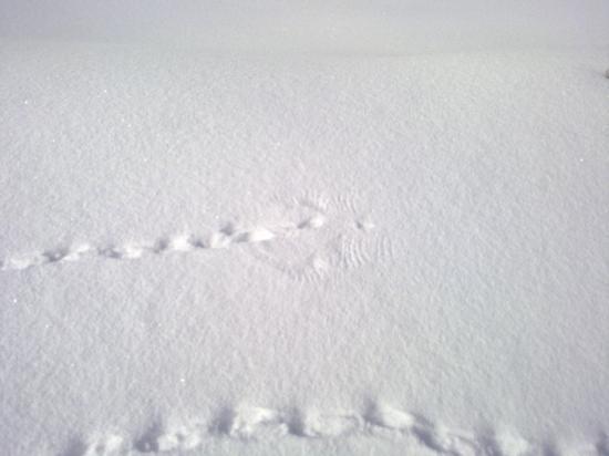 Un lagopède (perdrix des neige) a